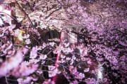 PAK86_megurogawasakura15200115_TP_V4